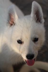 White-Swiss-Shepherd-Puppies-BTWW-GosaNostra-September-20092018-0202