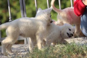White-Swiss-Shepherd-Puppies-BTWW-GosaNostra-October-08102018-0002