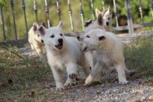 White-Swiss-Shepherd-Puppies-BTWW-GosaNostra-October-08102018-0003
