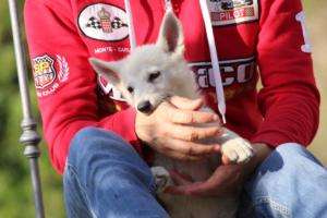 White-Swiss-Shepherd-Puppies-BTWW-GosaNostra-October-08102018-0005