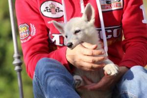 White-Swiss-Shepherd-Puppies-BTWW-GosaNostra-October-08102018-0006