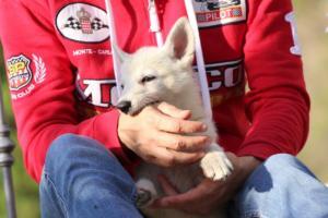 White-Swiss-Shepherd-Puppies-BTWW-GosaNostra-October-08102018-0007