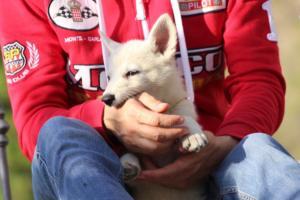 White-Swiss-Shepherd-Puppies-BTWW-GosaNostra-October-08102018-0008