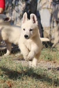 White-Swiss-Shepherd-Puppies-BTWW-GosaNostra-October-08102018-0009