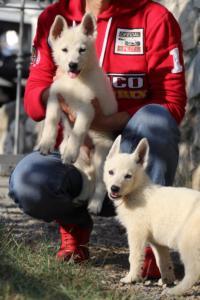 White-Swiss-Shepherd-Puppies-BTWW-GosaNostra-October-08102018-0010