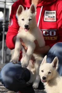 White-Swiss-Shepherd-Puppies-BTWW-GosaNostra-October-08102018-0011