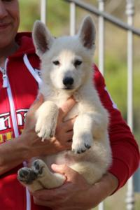 White-Swiss-Shepherd-Puppies-BTWW-GosaNostra-October-08102018-0012