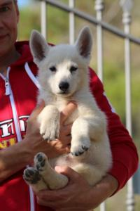 White-Swiss-Shepherd-Puppies-BTWW-GosaNostra-October-08102018-0013