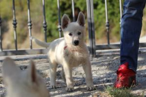 White-Swiss-Shepherd-Puppies-BTWW-GosaNostra-October-08102018-0014