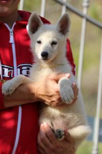 White-Swiss-Shepherd-Puppies-BTWW-GosaNostra-October-08102018-0015