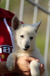 White-Swiss-Shepherd-Puppies-BTWW-GosaNostra-October-08102018-0016