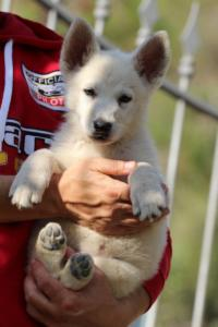 White-Swiss-Shepherd-Puppies-BTWW-GosaNostra-October-08102018-0017