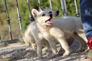 White-Swiss-Shepherd-Puppies-BTWW-GosaNostra-October-08102018-0018