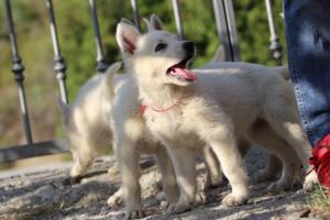 White-Swiss-Shepherd-Puppies-BTWW-GosaNostra-October-08102018-0019