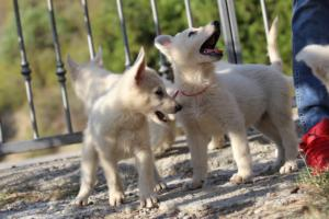 White-Swiss-Shepherd-Puppies-BTWW-GosaNostra-October-08102018-0020
