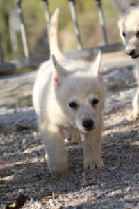 White-Swiss-Shepherd-Puppies-BTWW-GosaNostra-October-08102018-0021