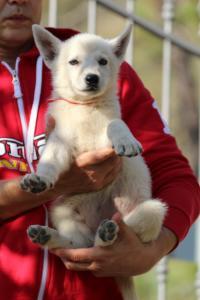 White-Swiss-Shepherd-Puppies-BTWW-GosaNostra-October-08102018-0022