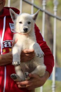 White-Swiss-Shepherd-Puppies-BTWW-GosaNostra-October-08102018-0023