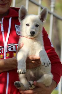 White-Swiss-Shepherd-Puppies-BTWW-GosaNostra-October-08102018-0024