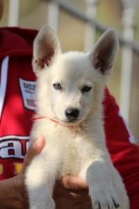 White-Swiss-Shepherd-Puppies-BTWW-GosaNostra-October-08102018-0025