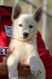 White-Swiss-Shepherd-Puppies-BTWW-GosaNostra-October-08102018-0026