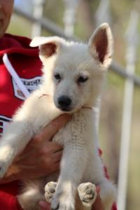 White-Swiss-Shepherd-Puppies-BTWW-GosaNostra-October-08102018-0027