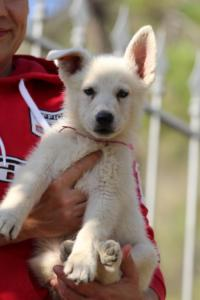 White-Swiss-Shepherd-Puppies-BTWW-GosaNostra-October-08102018-0028