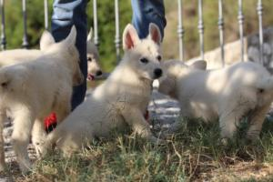 White-Swiss-Shepherd-Puppies-BTWW-GosaNostra-October-08102018-0029