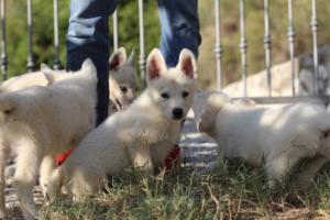 White-Swiss-Shepherd-Puppies-BTWW-GosaNostra-October-08102018-0030