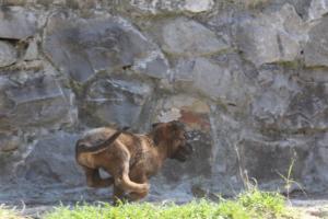 BTWW-H-Malinois-Pups-030319-0001