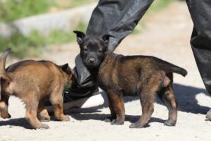 BTWW-H-Malinois-Pups-030319-0004