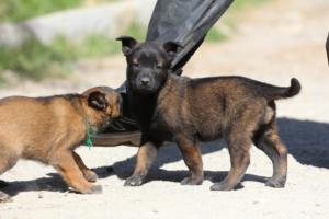 BTWW-H-Malinois-Pups-030319-0005
