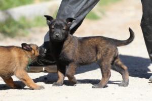 BTWW-H-Malinois-Pups-030319-0006