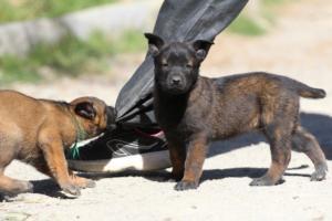 BTWW-H-Malinois-Pups-030319-0007