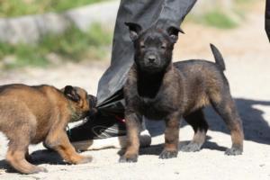 BTWW-H-Malinois-Pups-030319-0008