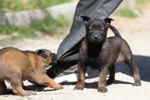 BTWW-H-Malinois-Pups-030319-0009
