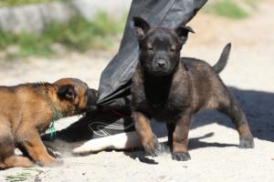 BTWW-H-Malinois-Pups-030319-0010