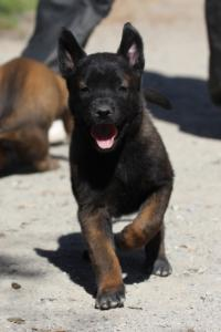 BTWW-H-Malinois-Pups-030319-0011