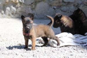 BTWW-H-Malinois-Pups-030319-0013