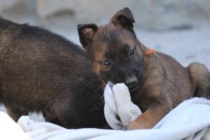 BTWW-H-Malinois-Pups-030319-0016