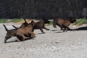 BTWW-H-Malinois-Pups-030319-0017