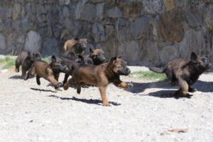 BTWW-H-Malinois-Pups-030319-0022