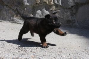BTWW-H-Malinois-Pups-030319-0025
