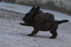 BTWW-H-Malinois-Pups-030319-0027