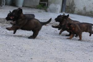 BTWW-H-Malinois-Pups-030319-0030