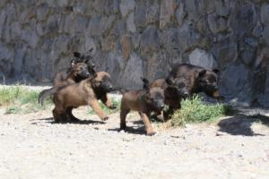 BTWW-H-Malinois-Pups-030319-0034