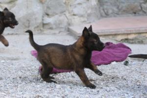 BTWW-H-Malinois-Pups-030319-0038