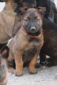 BTWW-H-Malinois-Pups-030319-0044