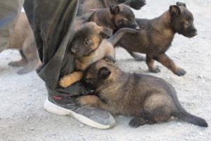 BTWW-H-Malinois-Pups-030319-0046