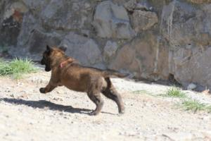 BTWW-H-Malinois-Pups-030319-0050